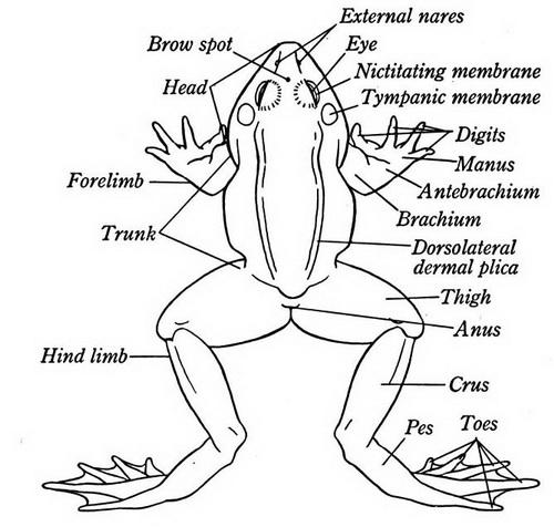 A Frog External Diagram Of Organs Diy Wiring Diagrams